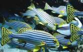 sweetlips fish on the house reef at Vakarufalhi